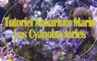 Tutoriel aquarium marin Les Cyanobactéries
