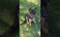 Leçon 1 -  Dresser son chien Berger Allemand:  Assis et coucher