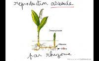 Reproduction asexuée de la plante. Leçon primaire.